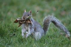 Grijze eekhoorn, Sciurus-carolinensis Royalty-vrije Stock Foto