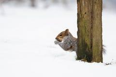 Grijze Eekhoorn in sneeuw stock foto's