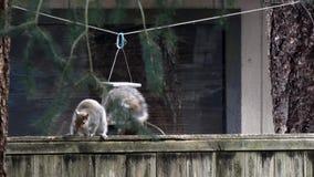 Grijze eekhoorngangen door specht op birdfeeder in yard stock video