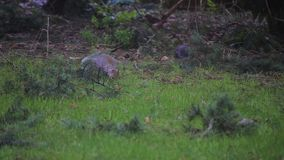 Grijze eekhoornhop in werf in lichte sneeuw stock footage