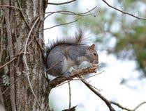Grijze eekhoornzitting op een lidmaat Stock Foto