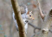 Grijze eekhoornzitting op een lidmaat Stock Foto's