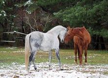 Grijze en rode paarden op een open plek Royalty-vrije Stock Fotografie