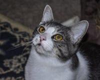 Grijze en Witte Cat Looking Up met Liefde een Portret stock foto's