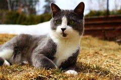 Grijze en witte die kat op het gras wordt gelegd Royalty-vrije Stock Foto's