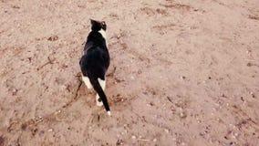 Grijze en witte kat die op grond lopen stock videobeelden
