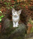 Grijze en witte katjeszitting op steen Royalty-vrije Stock Afbeelding