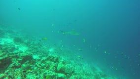 Grijze ertsaderhaaien in het koraalrif stock video