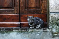 Grijze Europese kat Stock Foto