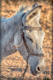 Grijze ezel Royalty-vrije Stock Foto's