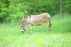 Grijze ezel in het weiland Royalty-vrije Stock Foto
