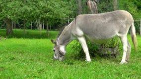 Grijze ezel op de groene gebieds langzame motie stock footage