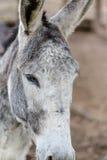 Grijze ezelsclose-up in detail Royalty-vrije Stock Afbeeldingen