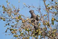 Grijze gaan-weg-vogel Stock Foto's