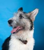 Grijze gebaarde hond op blauw Stock Afbeeldingen