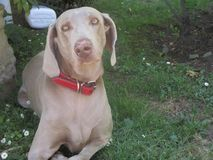 Grijze gegaane zitten hond weimaraner royalty-vrije stock afbeelding