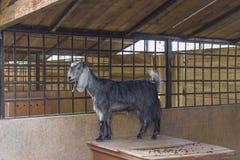 Grijze geit die zich in een kooi bevinden Stock Fotografie