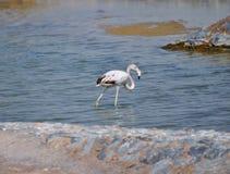 Grijze gekleurde veren van flamingo zoals vogel Stock Afbeeldingen
