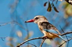 Grijze Geleide Ijsvogel Royalty-vrije Stock Fotografie