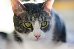 Grijze gestreepte bastaarde kat met heldergroene expressieve ogen royalty-vrije stock foto