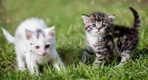Grijze gestreepte kat en witte katjes op groen gras Stock Foto