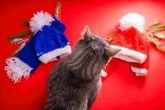 Grijze gestreepte katkat die een de winteruitrusting op rode achtergrond kiezen Taaie keus tussen rode en blauwe hoed en sjaal stock afbeelding