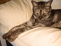 Grijze gestreepte katkat die op een hoofdkussen rusten stock fotografie