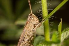 Grijze grasshoper die grasmacro eten Stock Afbeeldingen