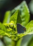 Grijze haar-Strook Vlinder Royalty-vrije Stock Foto