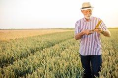 Grijze haired hogere agronoom of landbouwer die tarweparels meten vóór de oogst stock foto's
