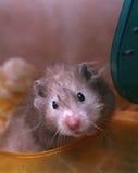 Grijze hamster Royalty-vrije Stock Foto's