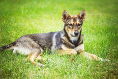 Grijze hond Stock Foto's