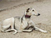 Grijze hond royalty-vrije stock afbeeldingen