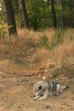 Grijze hond die in openlucht liggen Stock Afbeelding