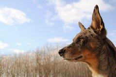 Grijze hond en hemel Royalty-vrije Stock Fotografie