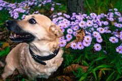 Grijze hond op een gang in het de herfstpark onder de bloemen Stock Foto's