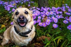 Grijze hond op een gang in het de herfstpark onder de bloemen Stock Foto