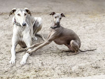 Grijze honden royalty-vrije stock foto's