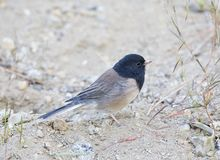 Grijze Junco, Oregon Dark-eyed Junco, Junco hyemalis oregonus royalty free stock photo