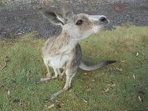 Grijze kangoeroe stock foto