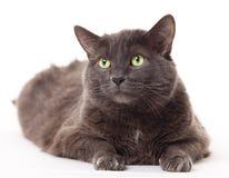 Grijze kat stock afbeelding