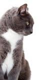 Grijze kat. Stock Afbeeldingen