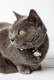 Grijze kat chartreux Stock Afbeelding