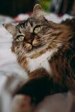 Grijze kat die op bed liggen Royalty-vrije Stock Foto's