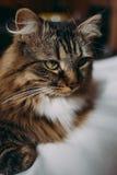 Grijze kat die op bed liggen Royalty-vrije Stock Foto