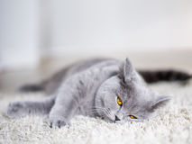 Grijze kat die op de vloer leggen Royalty-vrije Stock Afbeeldingen