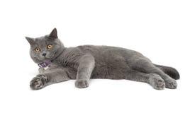 Grijze kat die op witte achtergrond wordt geïsoleerd Stock Fotografie