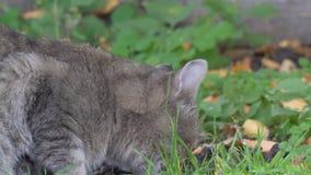 Grijze kat die voedsel eten stock footage