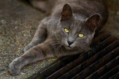 Grijze kat met gele ogen Stock Foto's