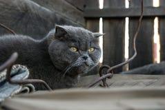 Grijze kat met gele ogen Stock Afbeelding